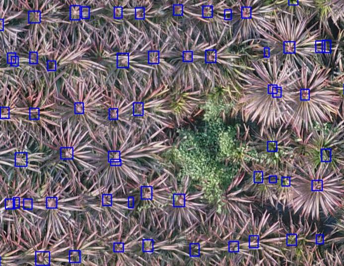 圖1、鳳梨栽植位置及鳳梨果實位置辨識成果