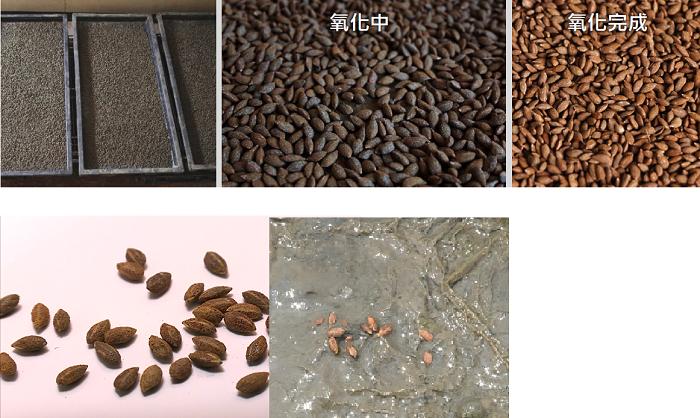 圖2、穀種披覆鐵粉需要氧化流程才能撒播到田裡。