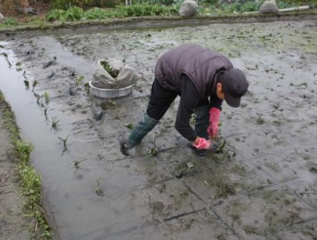 傳統人工種植芋苗情形