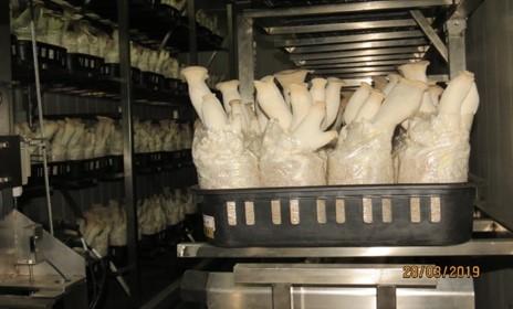 環控智慧自動化系統栽培杏鮑菇之生長良好狀況