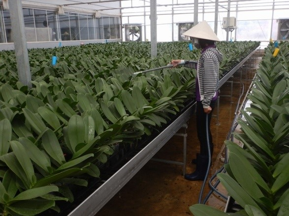 Watering is a labor-intensive part of Phalaenopsis management.