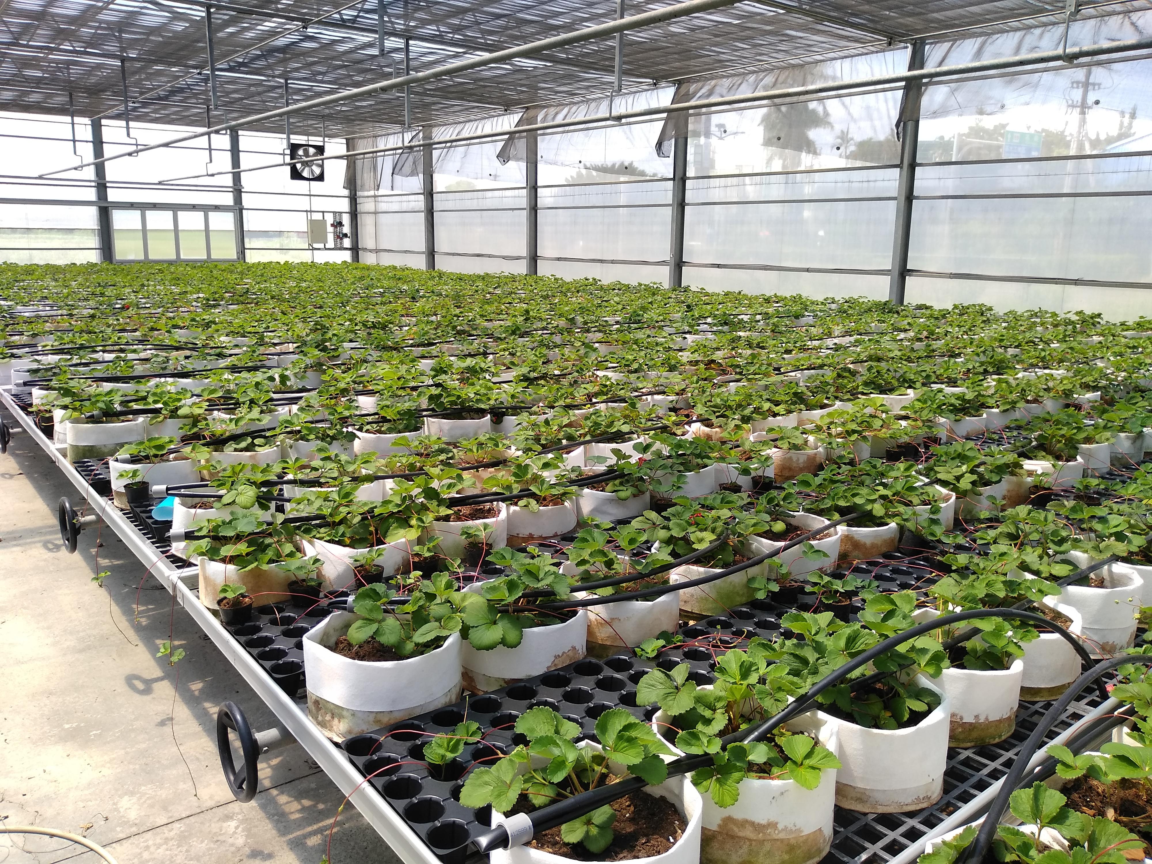 產業設施苗場生產草莓種苗實況